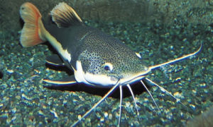 This is the cutest Catfish I could find - they are not pretty!